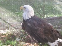 Bald Eagle...wow!